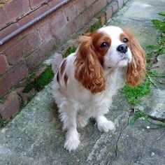 Won't you take me for a walk? Please? #cavalier