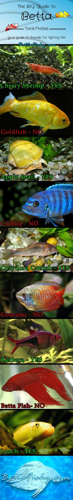 Learn which fish and other creatures get along with these feisty betta fish!  www.bettafishy.com