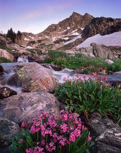 Parry primrose below Mt. Neva, Indian Peaks Wilderness, Colorado