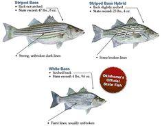 Striped-Bass-ID.jpg