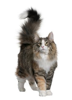 """Norwegian Forest Cat ~ This looks like our """"Boots.""""  He was a mixed Breed, but he was so beautiful, and a wonderful personality."""
