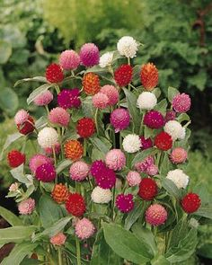 Gomphrena - loves heat and tolerates drought. Attracts butterflies....