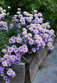 Erigeron glaucus 'Wayne Roderick' When Dr. Gordon Frankie, bee expert of renown, dropped a few of these plants off at the nursery, & told us that it was a superb plant for attracting native bees, we set our busy-bee selves to work propagating more. Cottage Garden Plants, Veg Garden, Garden Pots, Rain Garden, Cottage Gardens, Pink Perennials, Violet Garden, Seaside Garden, Drought Tolerant Landscape