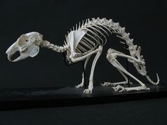 Rabbit Skeleton | Flickr - Photo Sharing!