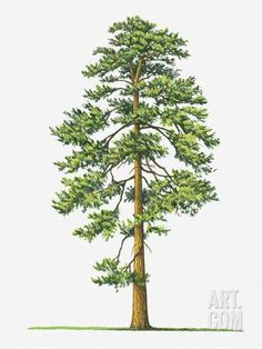 Illustration of Evergreen Pinus Ponderosa (Ponderosa Pine) Tree Photographic Print by Sue Oldfield at Art.com