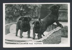 Pug Puppies from series Dogs by Senior Service Cigarettes card #10