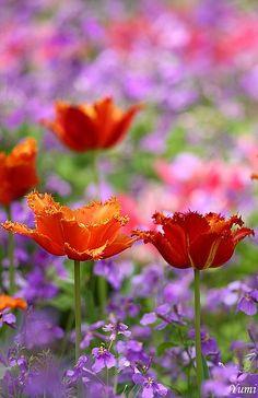 our-amazing-world:  tulip by * Yumi *, v Amazing World