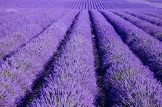 Info & Recipes: Lavender Flower Uses and more ~ from herbco.com home of Monterey Bay Spice Company