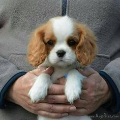 15 Things All Cavalier King Charles Spaniel Owners Must Never Forget - baby animals King Charles Puppy, Cavalier King Charles Dog, Cute Dogs And Puppies, Baby Dogs, Doggies, Puppies Tips, Cute Little Puppies, Bulldog Puppies, Cavalier King Spaniel