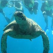 Turtle from a Dolphins and You tour. Starting at $139.00 #turtle #oahu #snorkeling