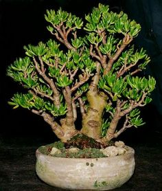 Bonsai/Crassula ovata with smal rosette-type succulents at the bottom, to mimic grass Jade Plant Bonsai, Succulent Bonsai, Jade Plants, Terrarium Plants, Bonsai Plants, Bonsai Garden, Cacti And Succulents, Planting Succulents, Bonsai Tree Care