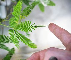 Mimosa pudica reacts to touch