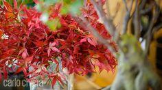 Particolare foglia di acero giapponeseJapanese maple branch close-up. carlocivera.org#pianta #acerogiapponese #plants #japanesemaple