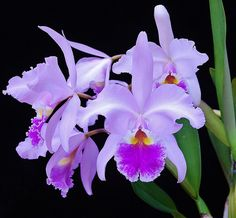 Cattleya warscewiczii'Pink' | One of two from Haiku Maui Orc… | Flickr