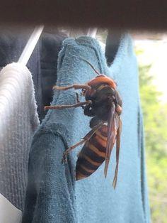 洗濯物にとまっていたスズメバチがあまりに巨大過ぎて一同絶叫「作り物だよね?」→本物だった「もはや凶器」※追記あり - Togetterまとめ