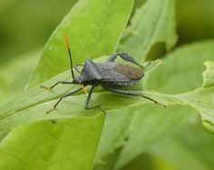 Natural Pest Control for Squash Bugs