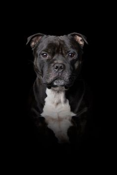 Hundefotografering i studio mot sort bakgrunn. The Effective Pictures We Offer You About Dogs … Staffy Bull Terrier, Staffordshire Bull Terrier Puppies, Staffy Dog, Black Lab Puppies, Cute Dogs And Puppies, Corgi Puppies, Dog Grooming Business, Puppy Breeds, Black Labs