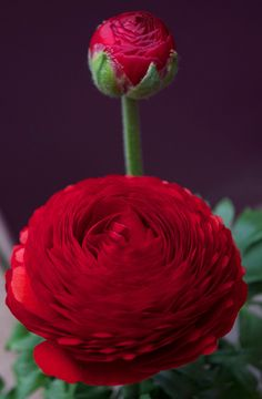 Red Ranunculus - I am going to try these this summer. Such a pretty flower.