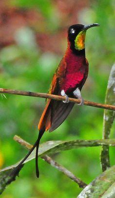 Stunning splendor! Crimson Topaz Hummingbird! Topaza pella.