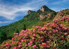 Rhododendron Ramble - Catawba rhododendrons bloom along the sides of Grandfather Mountain ... along the Blue Ridge Parkway in North Carolina | photo by J. Scott Graham
