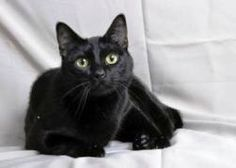 Meet our lucky little Leo! Leo is a short haired domestic mix with striking black fur and yellow-green eyes! This handsome boy is 4 years old and great with other cats and dogs. He weighs about 12 lbs and has given up his wild roots to become an indoor cat now. #Pets #Pet Adoption