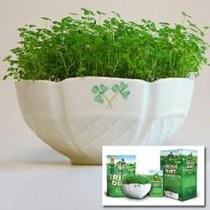 Auld Sod Irish Shamrock Gift Set Grow real Irish shamrock in Official Irish Dirt in a handcrafted Irish bowl!  Bring a little bit of Irish heritage to any room in your home.  $64.95 http://www.theirishstore.com/auld-sod-belleek-irish-shamrock-gift-set.html