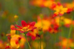 https://flic.kr/p/yqZVd5 | floral flames | Denver Botanic Gardens