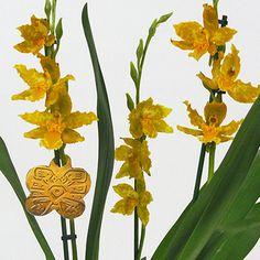 Odontoglossum 'Geyser Gold Geyserland'