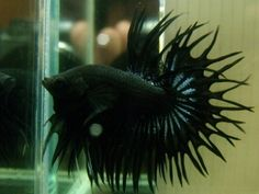 Ikan Cupang Crown Tail (Serit)