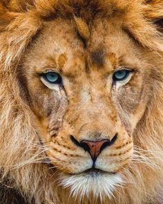 Lion HD images and Royal wallpapers for mobiles. Lion Pictures, Animal Pictures, Daily Pictures, Nature Animals, Animals And Pets, Wild Animals, Beautiful Cats, Animals Beautiful, Big Cats
