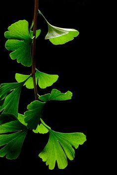 #Ginkgo #Leaves by James Field                                                                                                                                                      Más                                                                                                                                                                                 More
