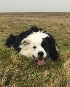 Astounding Border Collie Dog Tips Ideas Border Collie Colors, Border Collie Pictures, Border Collie Puppies, Collie Dog, Australian Shepherds, West Highland Terrier, Scottish Terrier, I Love Dogs, Cute Dogs