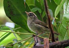 Pirre Warbler (Basileuterus ignotus)