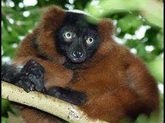 Lemur Rufo Rojo