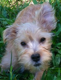 Adoption Fee:  $600Fostered in TexasAge: 6 monthsWeight:  10.5 llbsSPENCER IS A YORKIE/POSSIBLE SCHNAUZER MIX!11/10/15 - Spencer is a sweetheart of a guy that loves playing with other dogs and toys.  To that end, there will need to be other four...