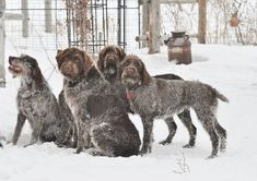 Wirehaired Pointing Griffons ~ Classic Look ~ Idaho Outback