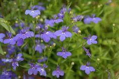 Lobelia erinus – 1 jarige plant uit de klokjesfamilie, houd niet van droogte, zijn er in veel kleuren, vnl wit en blauw worden veel toegepast.