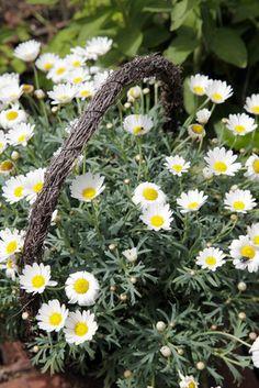 Margeriten sind tolle pflanzen für Garten und Balkon. Lesen Sie bei uns alles Wichtige zum Pflanzen und zur Pflege von Margeriten. Tipps zu Margeriten...