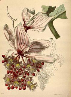 51800 Medinilla magnifica Lindl. / Paxton, J., Lindley, J., Paxton's flower garden, vol. 1: t. 12 (1853) [L. Constans]