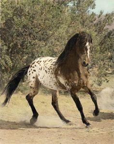 Spectacular Looking Dark Brown Wild Appaloosa Mustang.