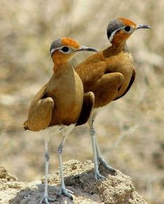 Courvite de Burchell - Burchell's Courser (Cursorius rufus) in Namibia by Chantelle Bosch in Wikimedia Commons. This courser lives in the western parts of southern Africa . by Birdwatching on fb Most Beautiful Birds, Pretty Birds, Love Birds, Small Birds, Colorful Birds, Beautiful Creatures, Animals Beautiful, Vogel Illustration, Photo Animaliere