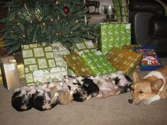 Proud mama corgi and her Christmas pups neatly lined under the tree