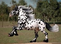FS Midnight - Black Leopard Noriker Stallion - AR ? - Frangipani Stables Photo by fmhsashows | Photobucket