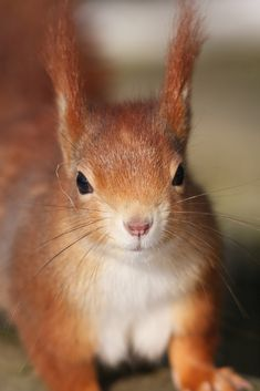 Red Squirrel - Scirius vulgaris