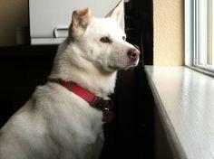 Korean Jindo Dog, Hangul: Hanja, Chindo, Jindo, Jindo Gae, JindoGae, Jin dog, Jindo Gu