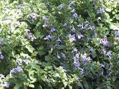 barleria obtusa - Google Search Shrubs, Google Search, Medium, Plants, Shrub, Plant, Planets, Medium Long Hairstyles