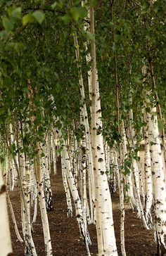 Paper Birch - Betula papyrifera ---- Year-Round Color --- Fast Growing --- Smooth White Bark ---  Highest Deer --- Resistant Rating Tier --- Grows 50' to 70' with 35' Spread --- Zones 2 to 7  Can't Ship To: AK, AZ, HI --- Reg. Price:16.50 --- (Birch Trees by Thin Glass, via Flickr)