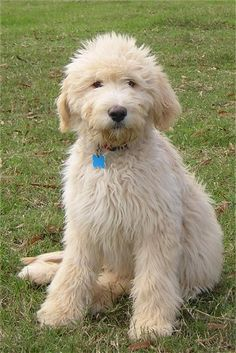 Goldendoodle Fluff! Oh goodness my Mum has a golden retriever, reckon I could persuade her to breed some of these? Reminds me of Sprocket off Fraggle Rock!