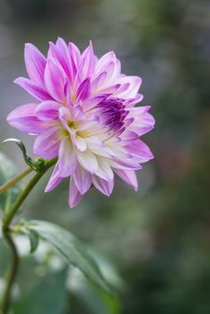 This is a pretty view of a dahlia