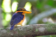 Rufous-collared Kingfisher - Brunei, Indonesia, Malaysia, Myanmar, Singapore, and Thailand